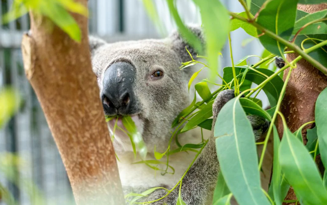 Visit Daisy Hill Centre to help support Save the Koala month